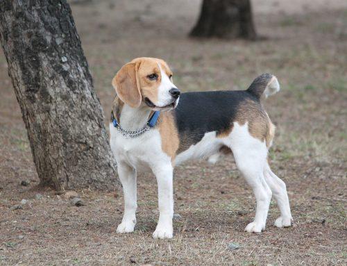 6 problemas de saúde comuns em beagle