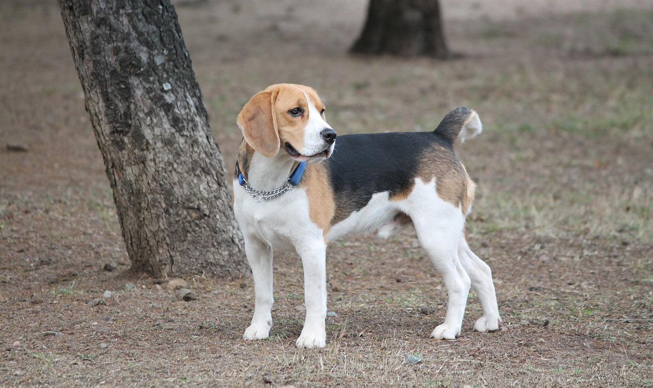6 problemas de saúde comuns em beagle 2