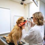 Problemas oftalmológicos em Golden Retriever 6