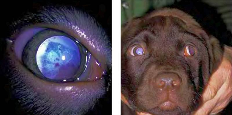 Foto de atrofia progressiva da retina em cachorro