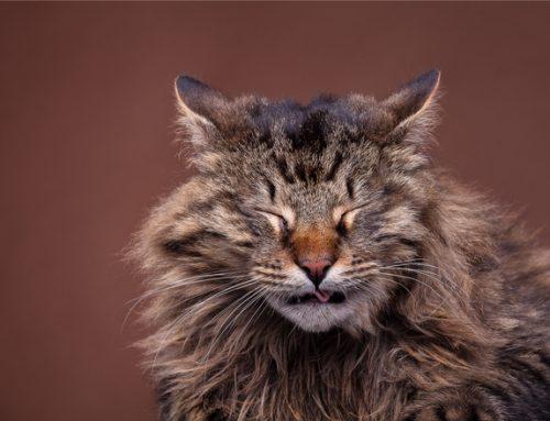 Alergias em Gatos – sintomas, causas tipos e tratamento