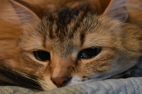Gato com olho vermelho: sintomas e o que fazer 1