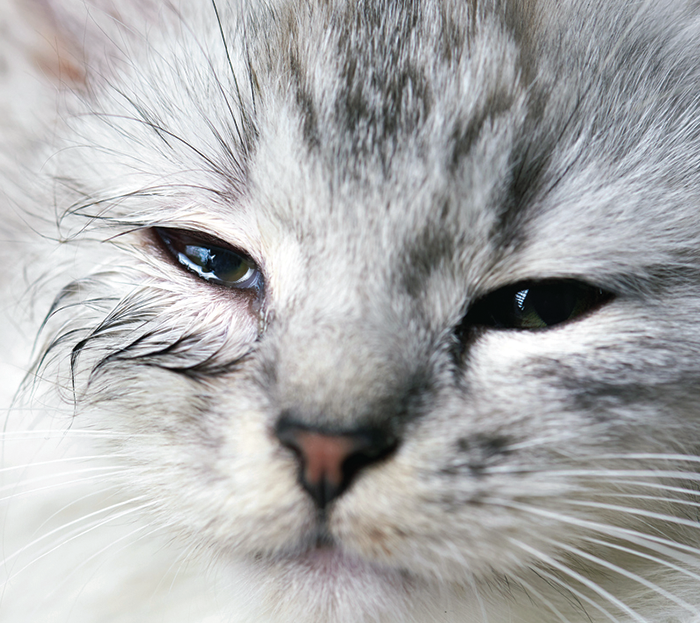 Gato com olho vermelho: sintomas e o que fazer 2