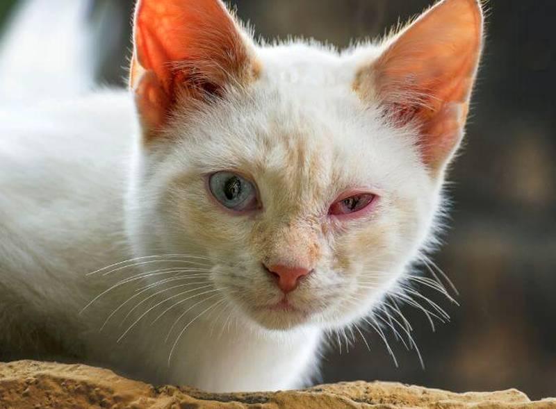 Gato com olho vermelho: sintomas e o que fazer 3