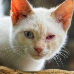 Gato com olho vermelho: sintomas e o que fazer 7