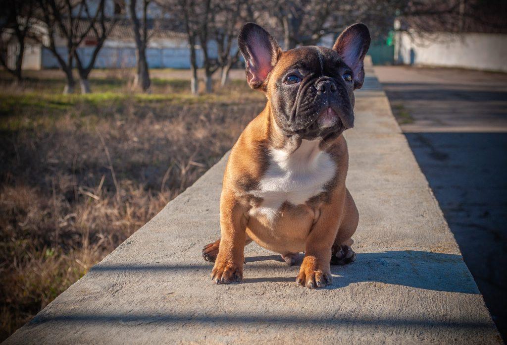 Como lidar com as doenças nos olhos do Bulldog Francês 11