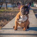 Como lidar com as doenças nos olhos do Bulldog Francês 17