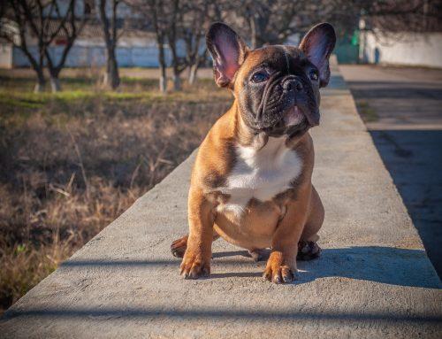 Como lidar com as doenças nos olhos do Bulldog Francês
