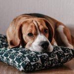 Beagles com olhos vermelhos e olho com sangue dentro da parte branca. O que pode ser? 16