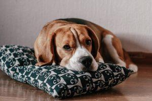 Beagles com olhos vermelhos e olho com sangue dentro da parte branca. O que pode ser? 2