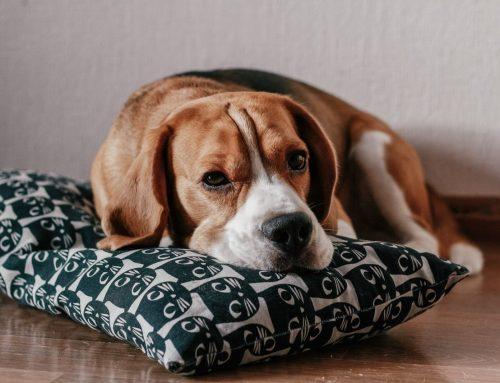Beagles com olhos vermelhos e olho com sangue dentro da parte branca. O que pode ser?