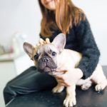 Problemas de saúde e doenças comuns em Bulldog Francês 2