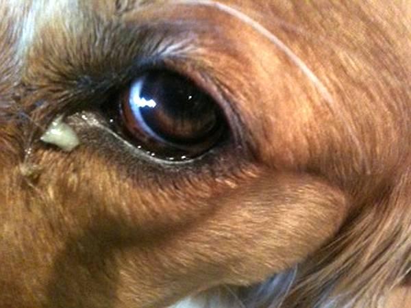 Remela no olho do cachorro verde