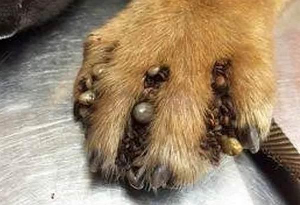Fotos de 17 doenças de pele em cachorros: alergias, infecções e irritações para você ver e comparar 9