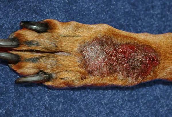 Fotos de 17 doenças de pele em cachorros: alergias, infecções e irritações para você ver e comparar 13