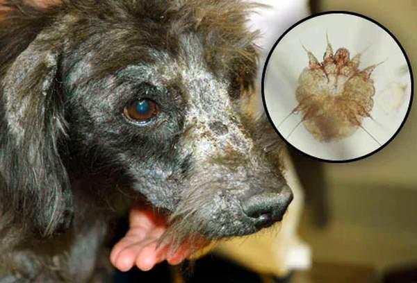 Fotos de 17 doenças de pele em cachorros: alergias, infecções e irritações para você ver e comparar 8