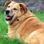 Guia completo para obesidade canina 7