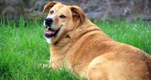Guia completo para obesidade canina 1