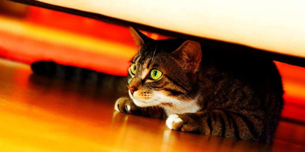 Gato ansioso: o que fazer para controlar a ansiedade em gato? 2