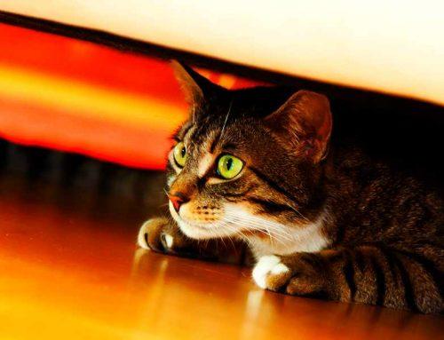 Gato ansioso: o que fazer para controlar a ansiedade em gato?