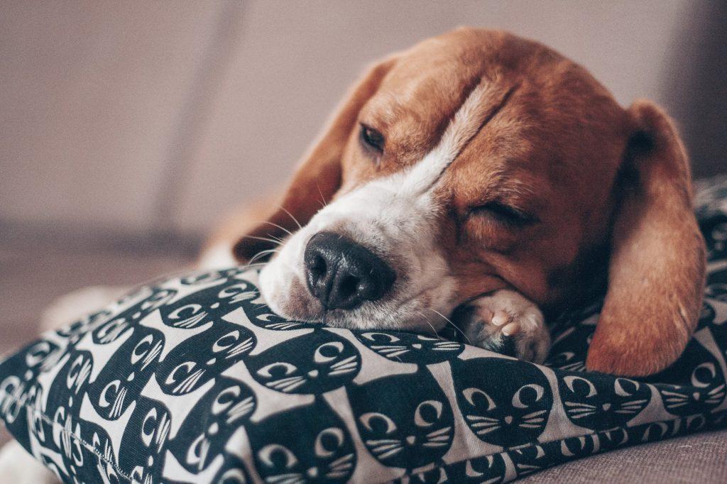 Cachorro em sono profundo, difícil de acordar? O que saber sobre o sono dos cães 1