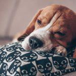 Tratamento para hipotireoidismo em cães em Santo André 7
