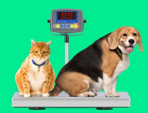 Cães e gatos obesos: como controlar e prevenir o ganho de peso em seu animal de estimação
