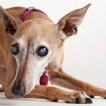 Catarata em cães: causas, diagnóstico e tratamento 14