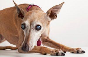 Catarata em cães: causas, diagnóstico e tratamento 7