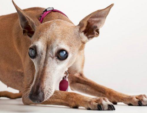 Catarata em cães: causas, diagnóstico e tratamento