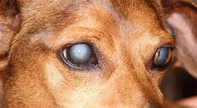 Catarata em cães: causas, diagnóstico e tratamento 1