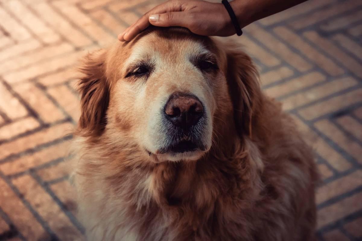 Exames mais comuns em cachorros idosos 1