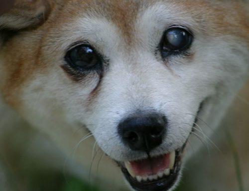 Por que meu cachorro tem olhos brancos?