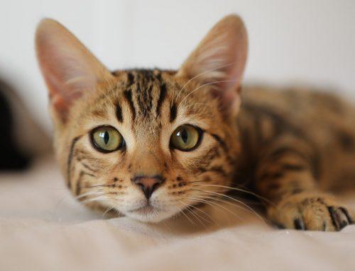 Como saber o que o gato quer? Como entender o miado do gato?