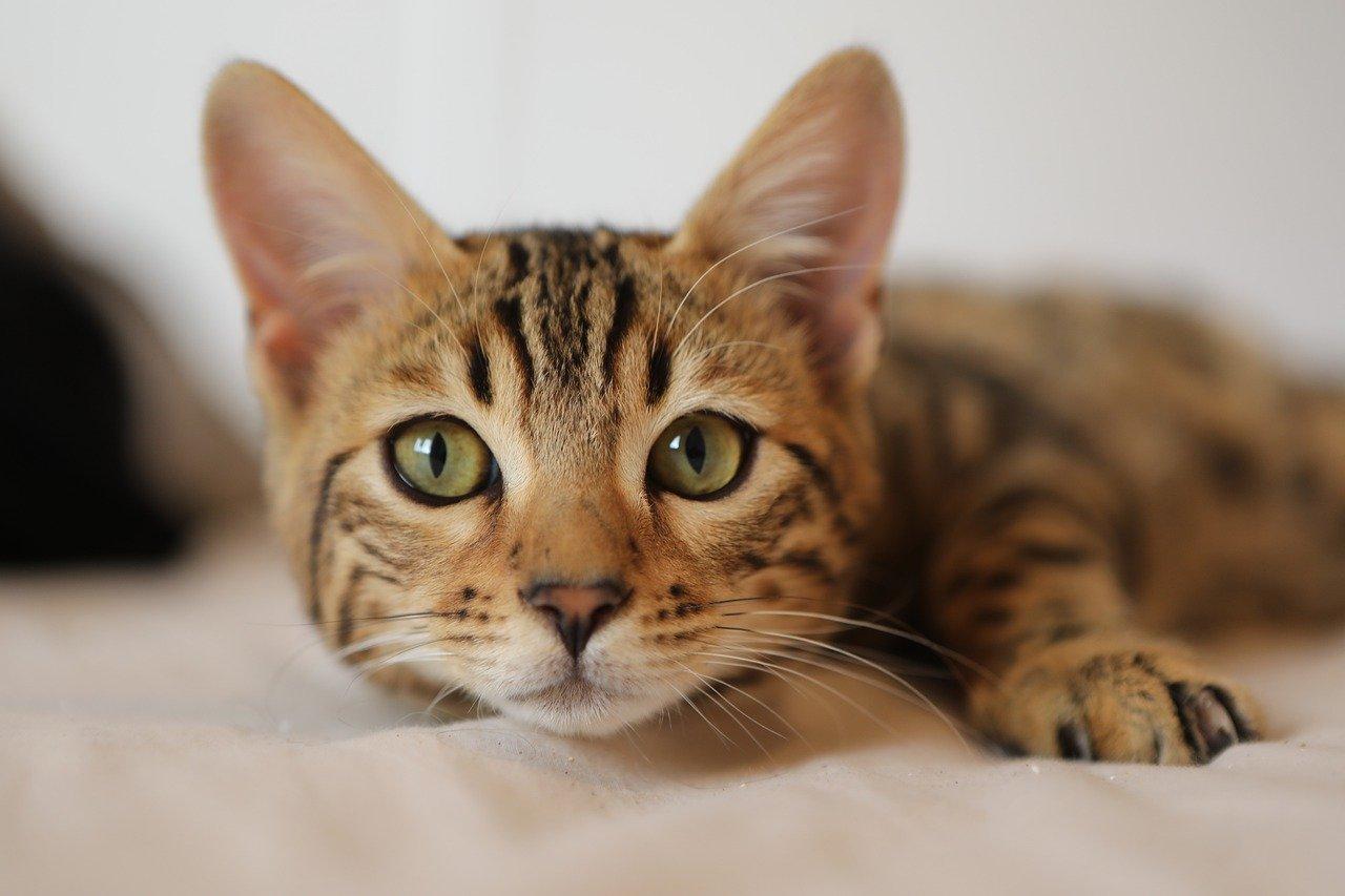 Como saber o que o gato quer? Como entender o miado do gato? 10