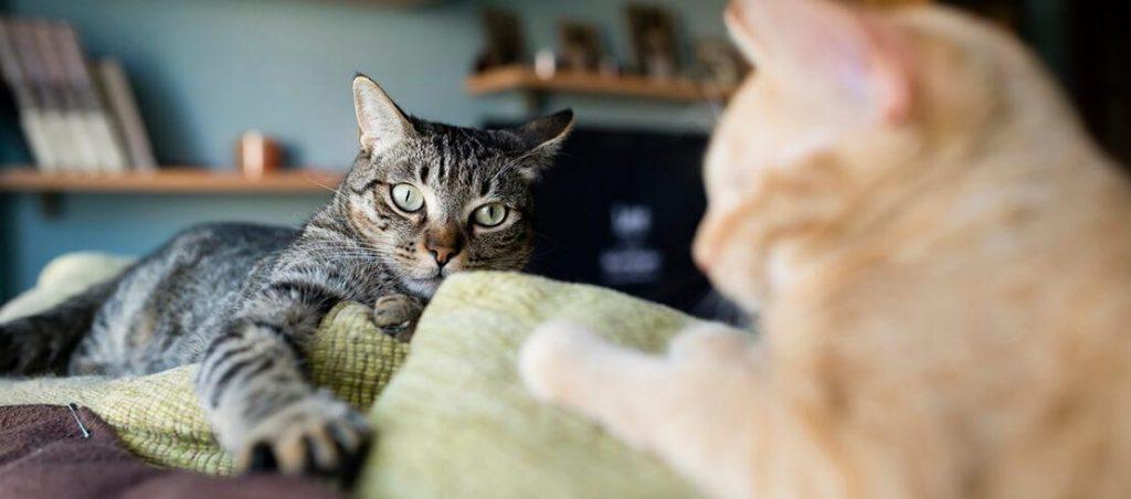 Como saber que sua gata está no cio 1