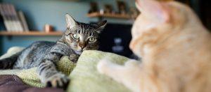 Como saber que sua gata está no cio 9