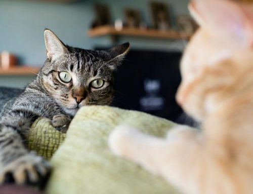 Como saber que sua gata está no cio