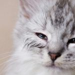Por que meu gato tem olhos inchados? 5 sintomas e motivos para inchaço nos olhos do gato 14
