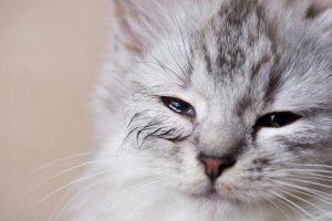 Por que meu gato tem olhos inchados? 5 sintomas e motivos para inchaço nos olhos do gato 4