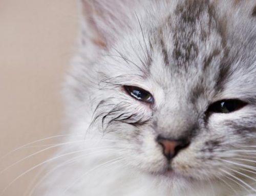 Por que meu gato tem olhos inchados? 5 sintomas e motivos para inchaço nos olhos do gato