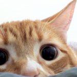 Por que meu gato tem pupilas dilatadas? 12