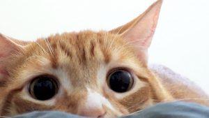 Por que meu gato tem pupilas dilatadas? 2