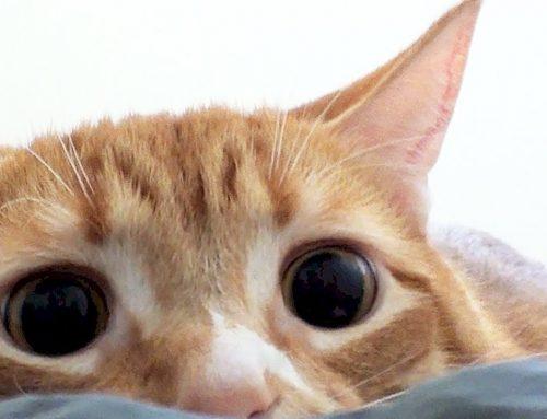 Por que meu gato tem pupilas dilatadas?