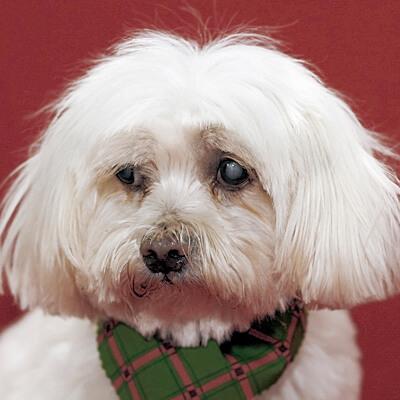 Catarata em cães: causas, diagnóstico e tratamento 3