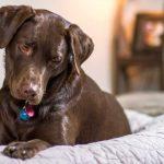 Alergias em labrador retriever: sintomas e tratamento 1