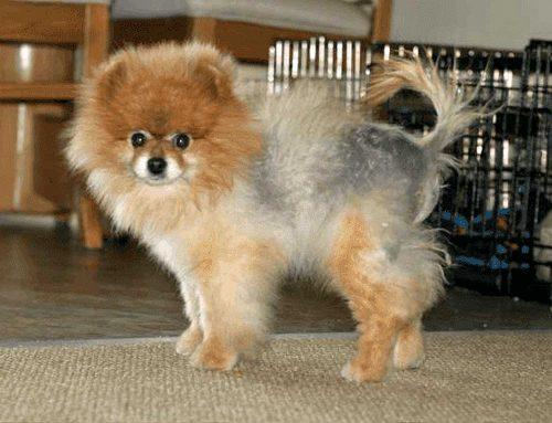 Alopecia X em cachorro: sintomas e tratamento
