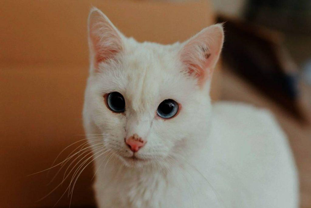 Quais são os sintomas da insuficiência renal em estágio terminal em gatos? 2