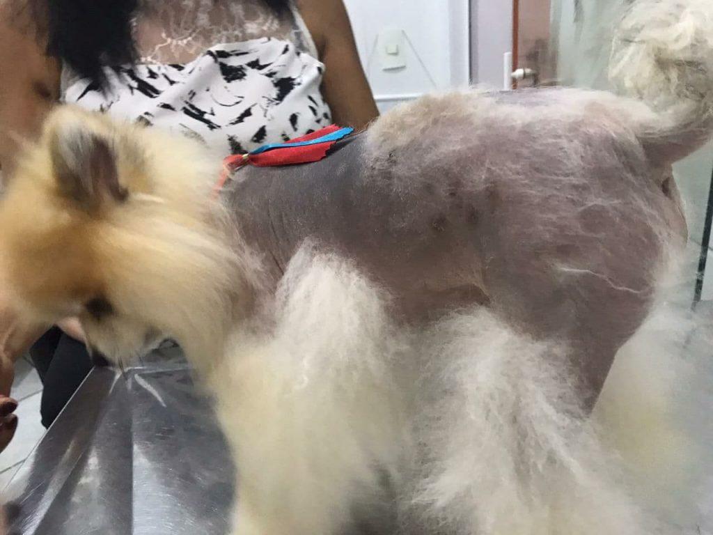 Alopecia X em Lulu da Pomerânia: tratamento em São Paulo 1