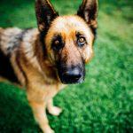 Quantos anos vive um pastor alemão? Saiba a expectativa de vida de um pastor alemão e como cuidar do seu cão 7